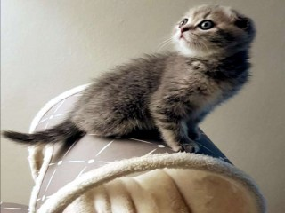 للبيع نثيه Scottish fold blue tabby