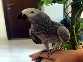 TALKING FEMALE AFRICAN GREY FOR SALE