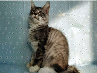 Maine coon kitten pure bred with pedigree